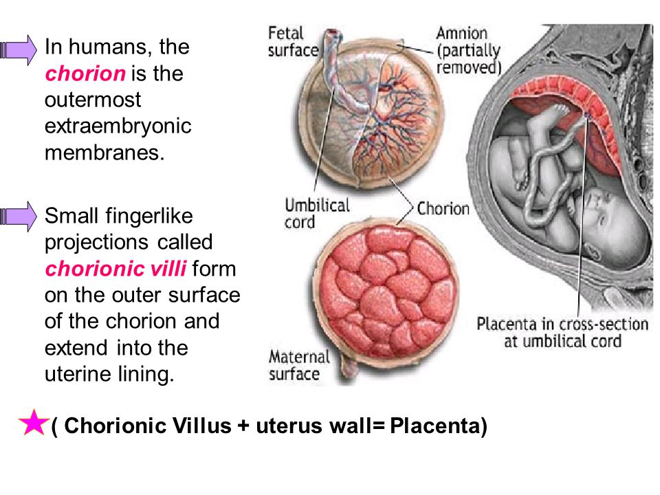 In humans, the chorion is the outermost extraembryonic membranes.