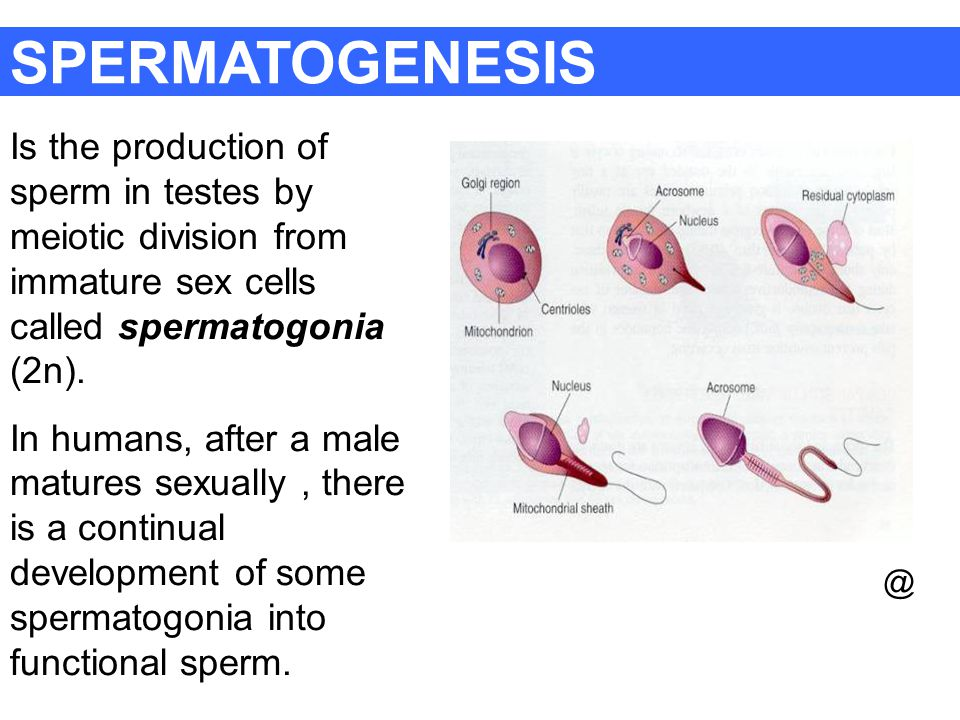 SPERMATOGENESIS Is the production of sperm in testes by meiotic division from immature sex cells called spermatogonia (2n).
