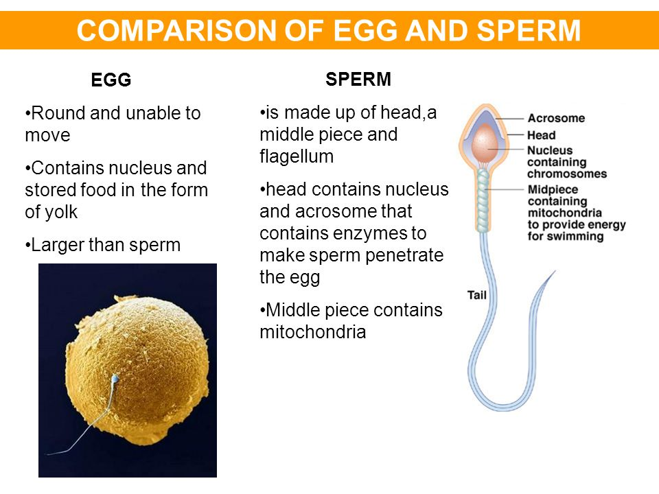 COMPARISON OF EGG AND SPERM