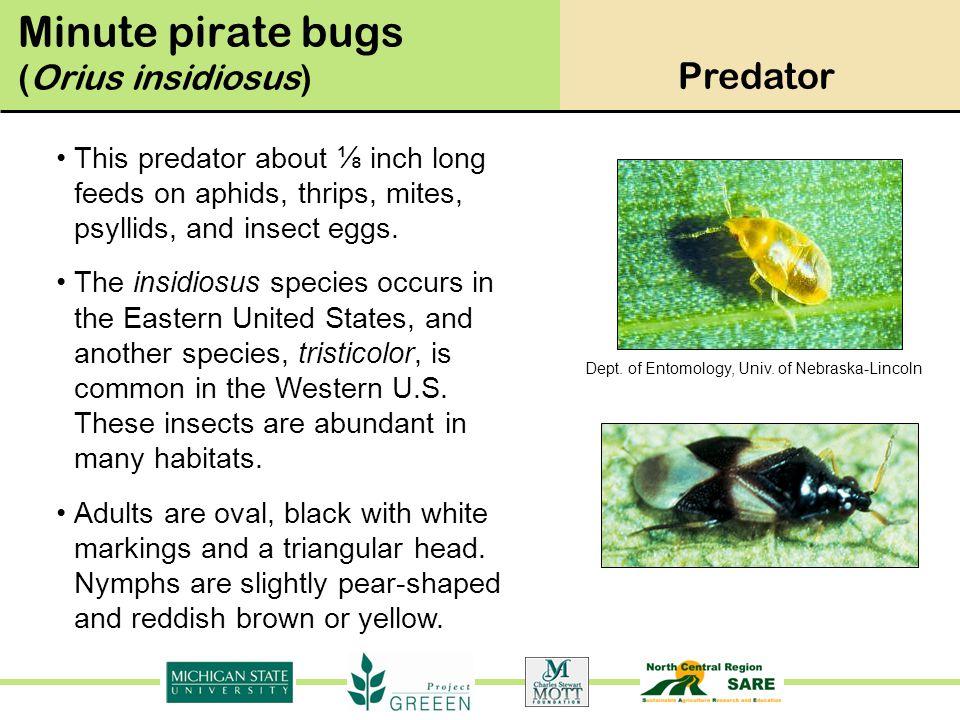 Minute pirate bugs (Orius insidiosus)