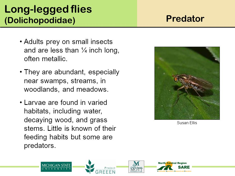 Long-legged flies (Dolichopodidae)