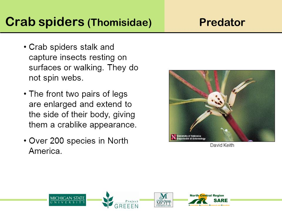 Crab spiders (Thomisidae)