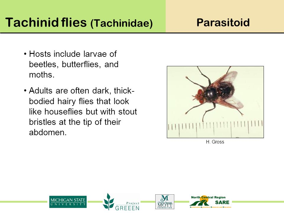 Tachinid flies (Tachinidae)