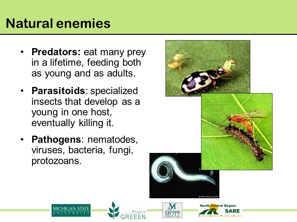 Natural enemies Predators: eat many prey in a lifetime, feeding both as young and as adults.