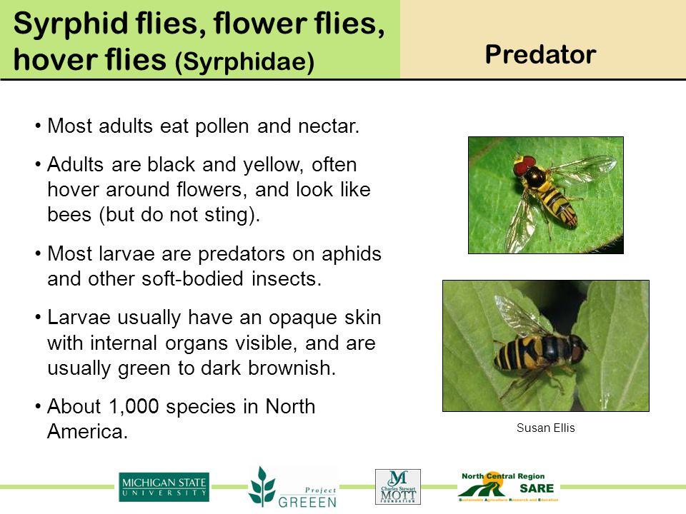 Syrphid flies, flower flies, hover flies (Syrphidae)