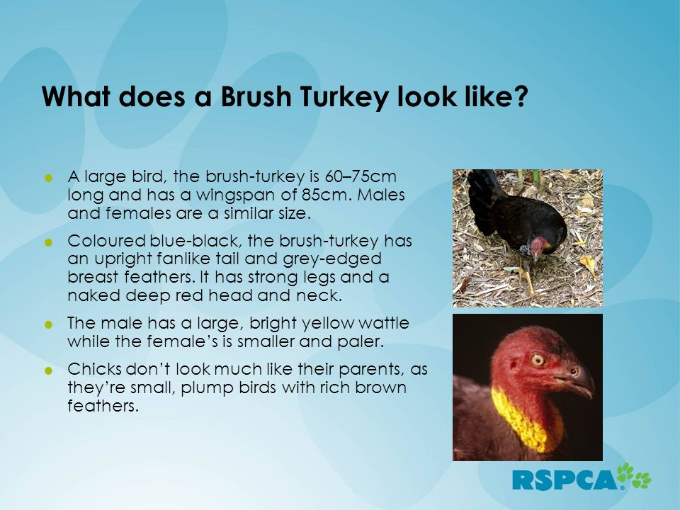 What does a Brush Turkey look like