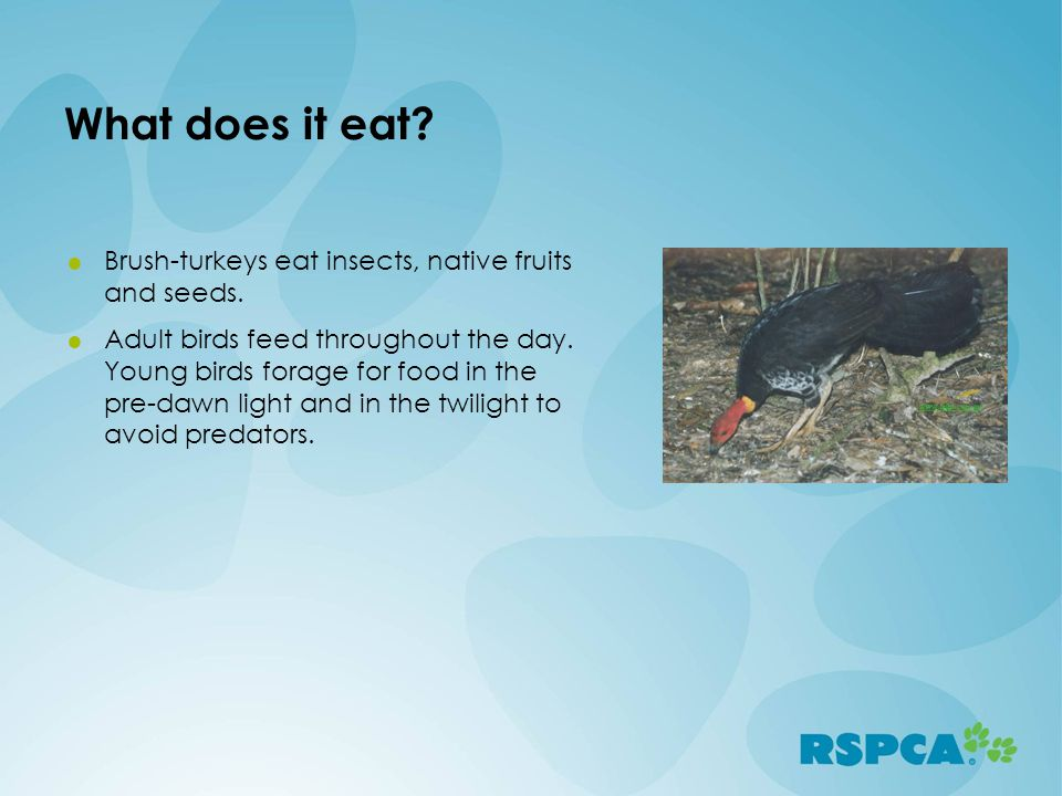 What does it eat Brush-turkeys eat insects, native fruits and seeds.