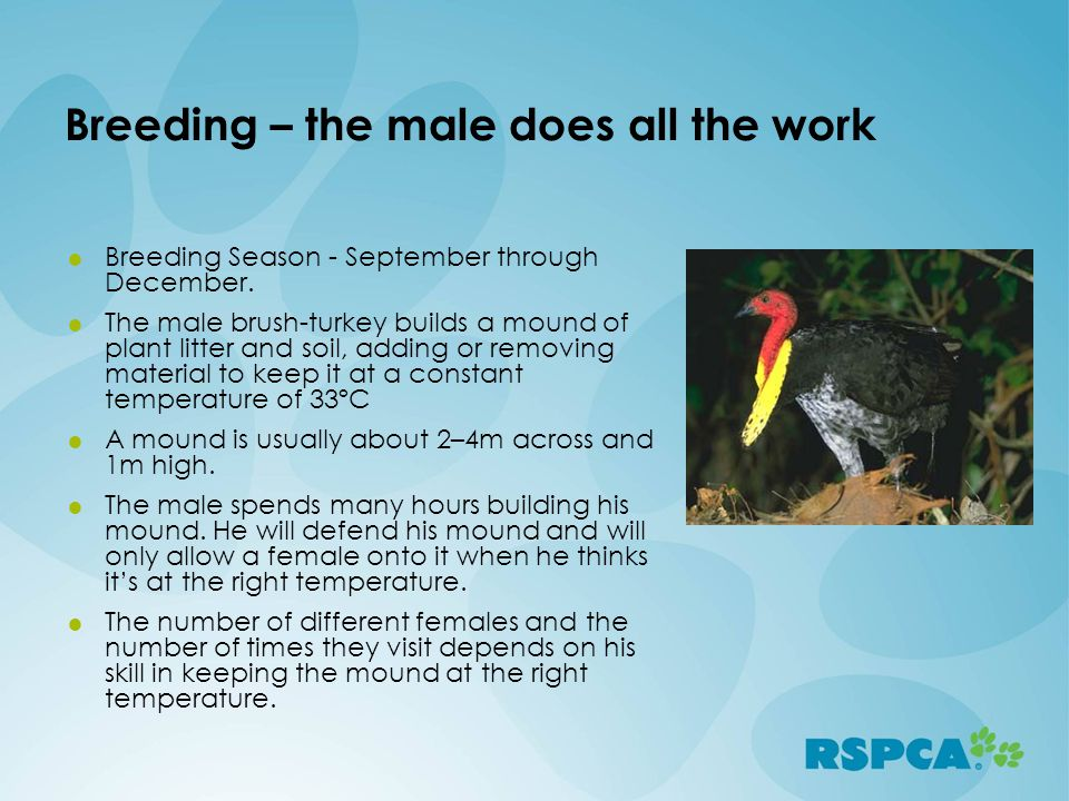 Breeding – the male does all the work