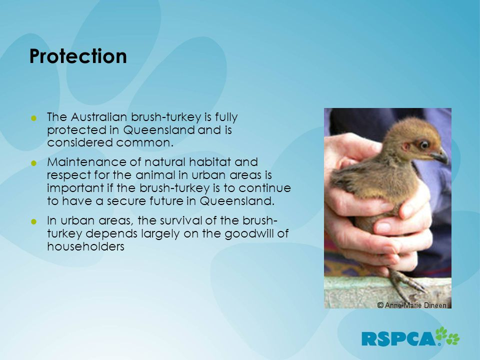 Protection The Australian brush-turkey is fully protected in Queensland and is considered common.