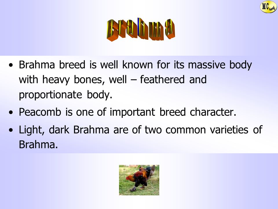 Brahma Brahma breed is well known for its massive body with heavy bones, well – feathered and proportionate body.