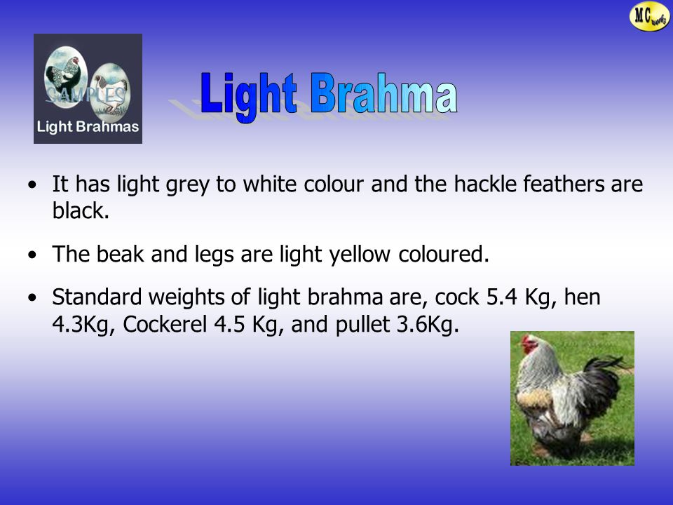 Light Brahma It has light grey to white colour and the hackle feathers are black. The beak and legs are light yellow coloured.