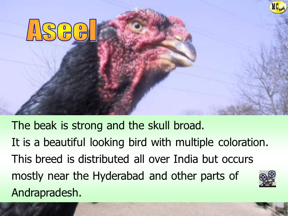 Aseel The beak is strong and the skull broad.