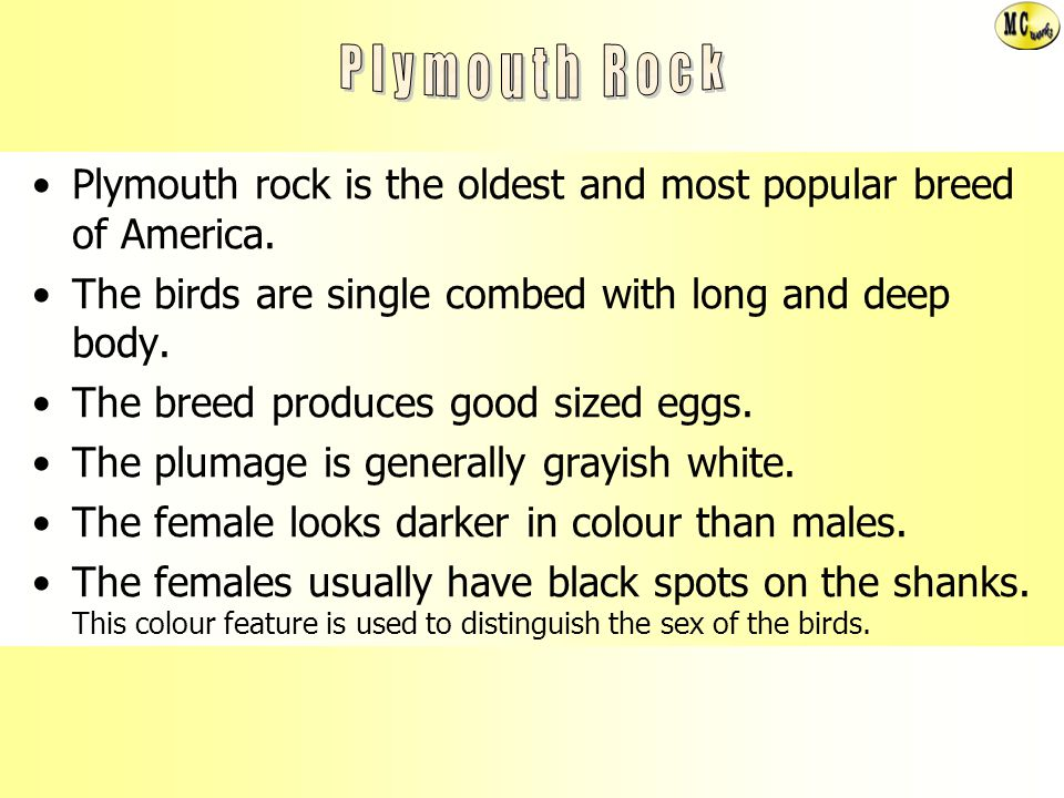 Plymouth Rock Plymouth rock is the oldest and most popular breed of America. The birds are single combed with long and deep body.