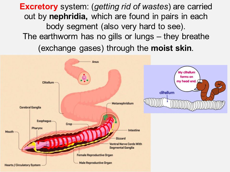 Excretory system: (getting rid of wastes) are carried out by nephridia, which are found in pairs in each body segment (also very hard to see).
