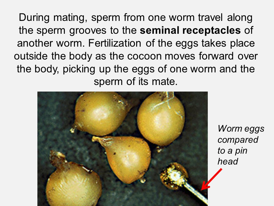 During mating, sperm from one worm travel along the sperm grooves to the seminal receptacles of another worm. Fertilization of the eggs takes place outside the body as the cocoon moves forward over the body, picking up the eggs of one worm and the sperm of its mate.