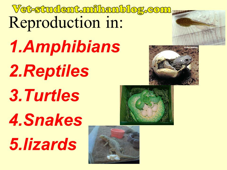 Reproduction in: Amphibians Reptiles Turtles Snakes lizards