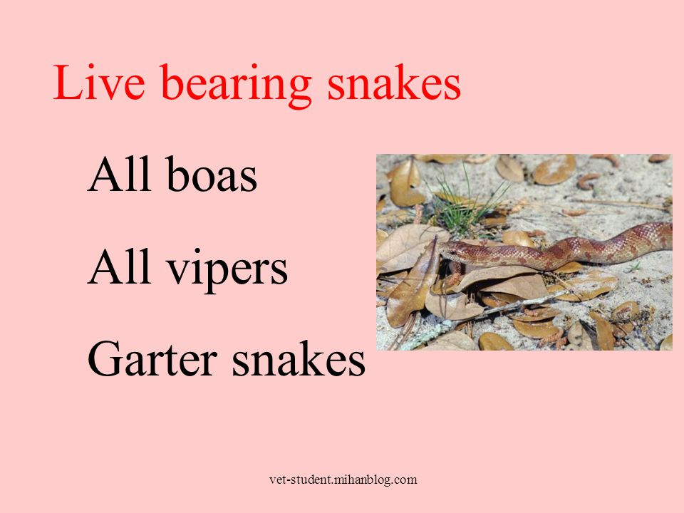 Live bearing snakes All boas All vipers Garter snakes