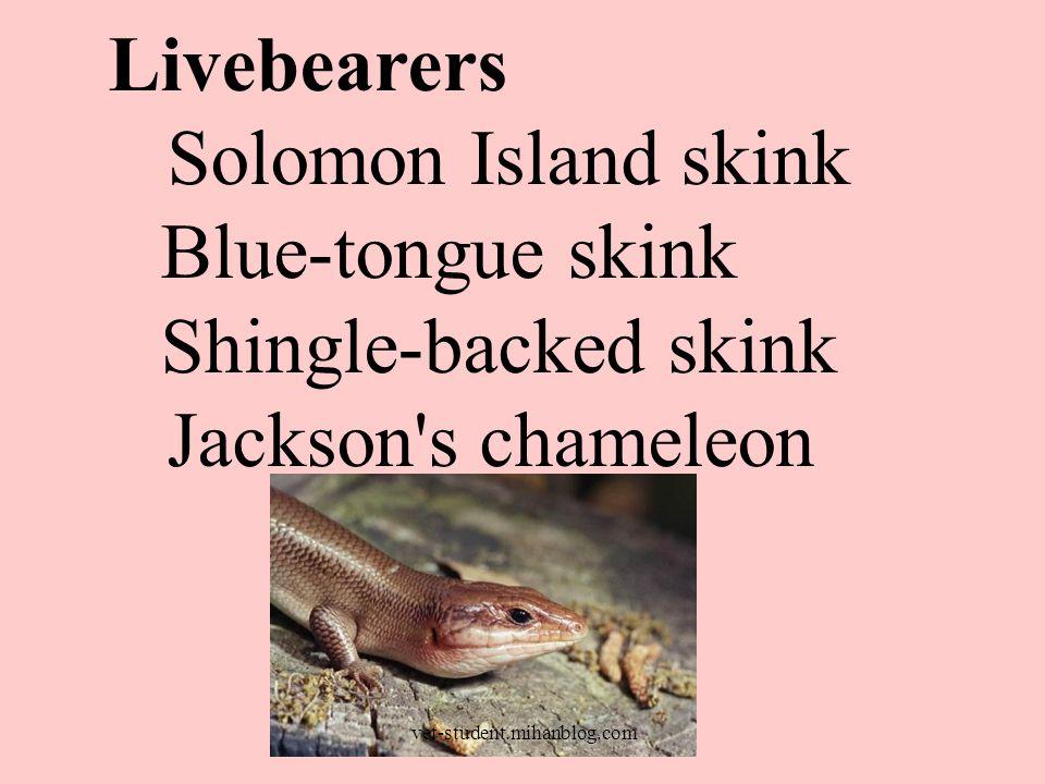 Livebearers Solomon Island skink Blue-tongue skink