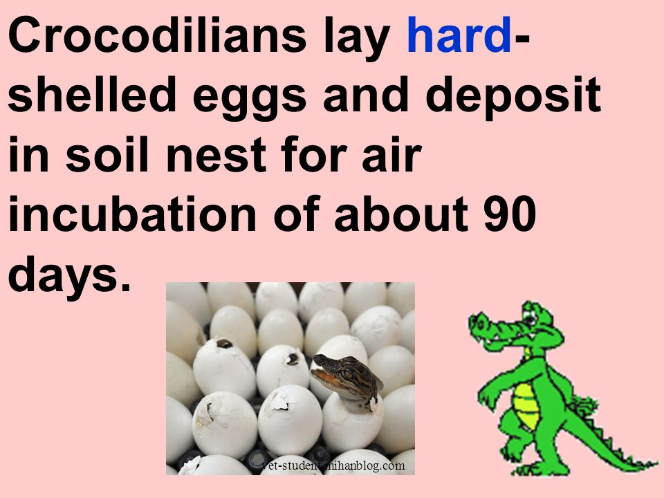Crocodilians lay hard-shelled eggs and deposit in soil nest for air incubation of about 90 days.