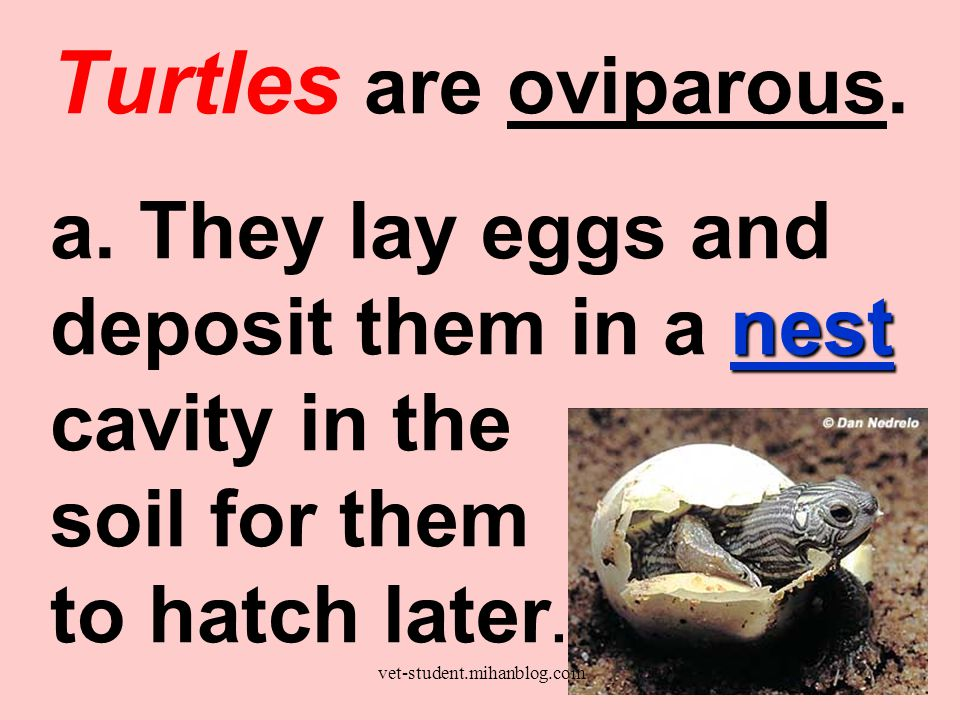 Turtles are oviparous.