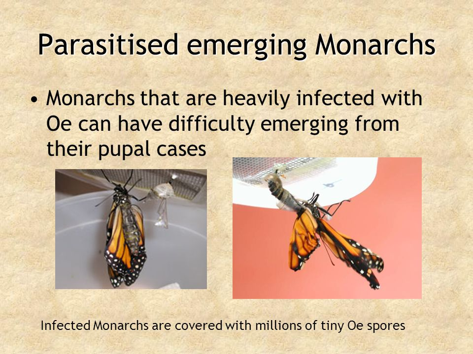 Parasitised emerging Monarchs