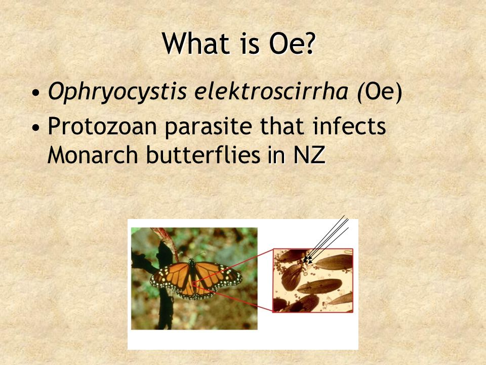 What is Oe Ophryocystis elektroscirrha (Oe)