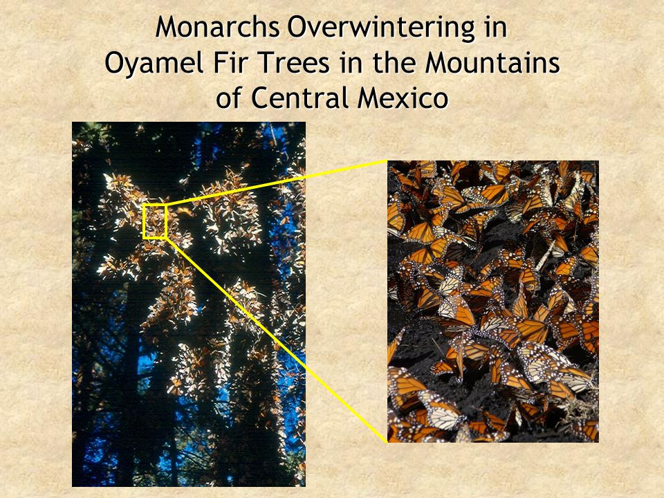 Monarchs Overwintering in Oyamel Fir Trees in the Mountains of Central Mexico