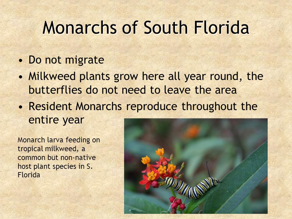 Monarchs of South Florida