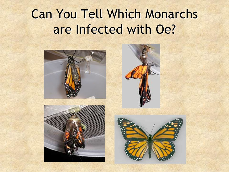 Can You Tell Which Monarchs are Infected with Oe