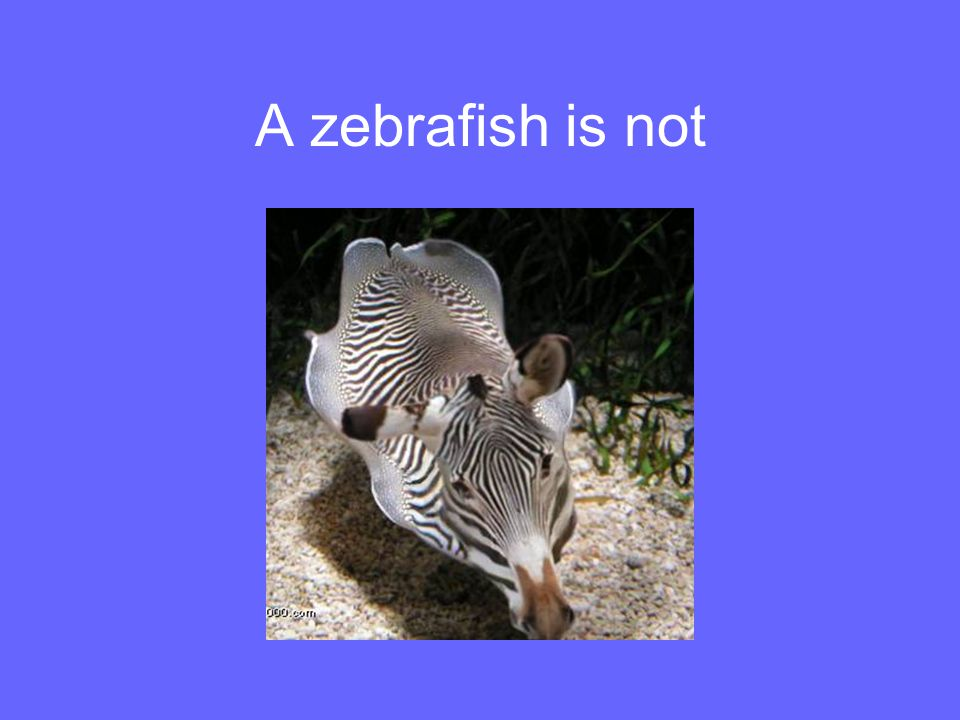 A zebrafish is not A litte humor.