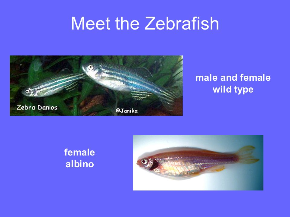 Meet the Zebrafish male and female wild type female albino