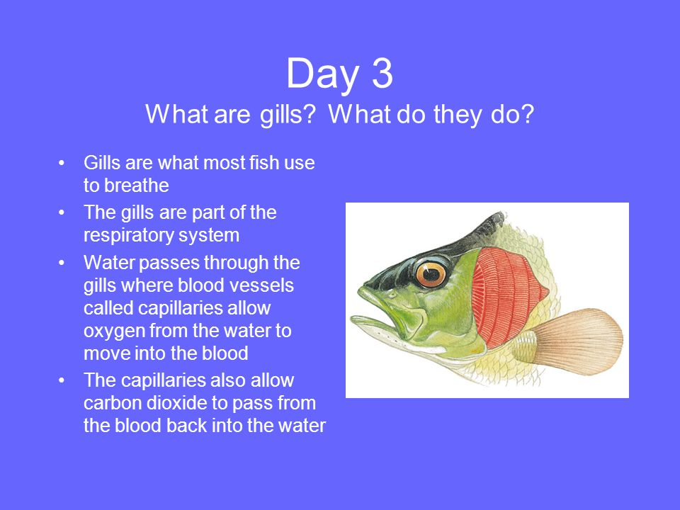 Day 3 What are gills What do they do