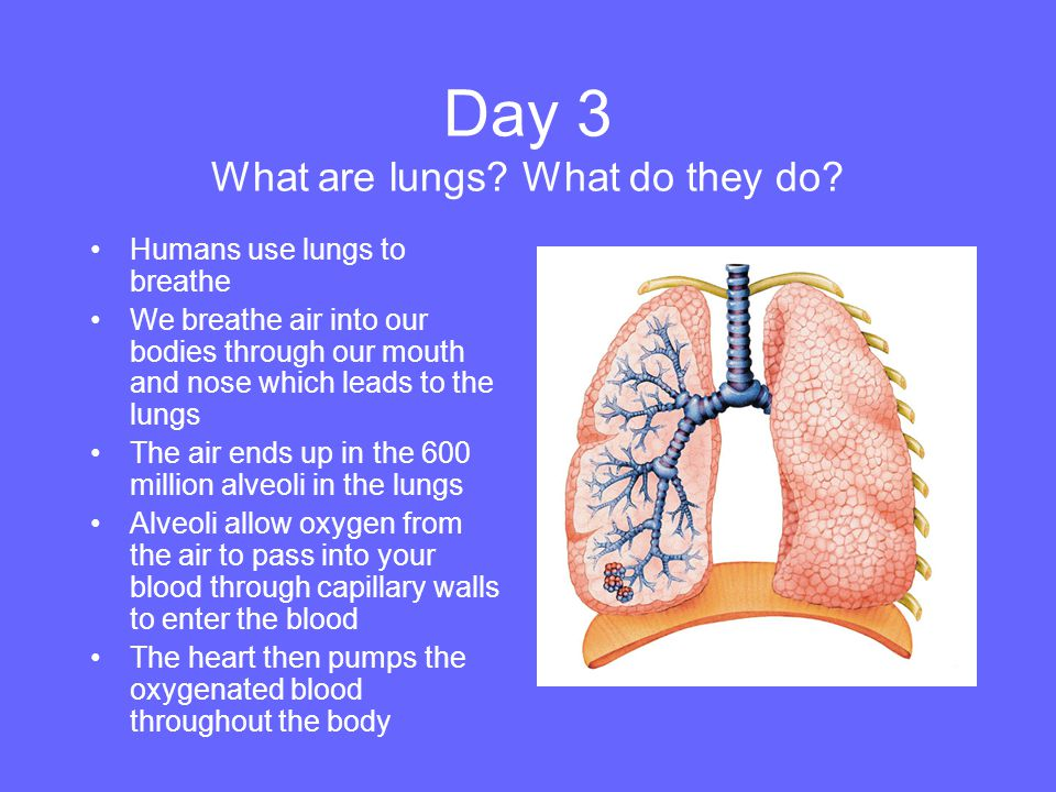 Day 3 What are lungs What do they do