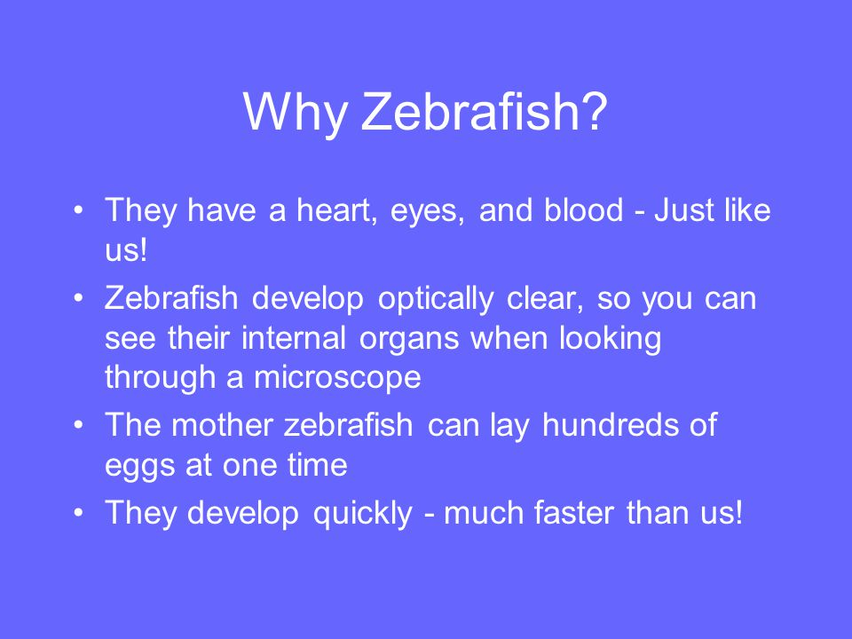 Why Zebrafish They have a heart, eyes, and blood - Just like us!