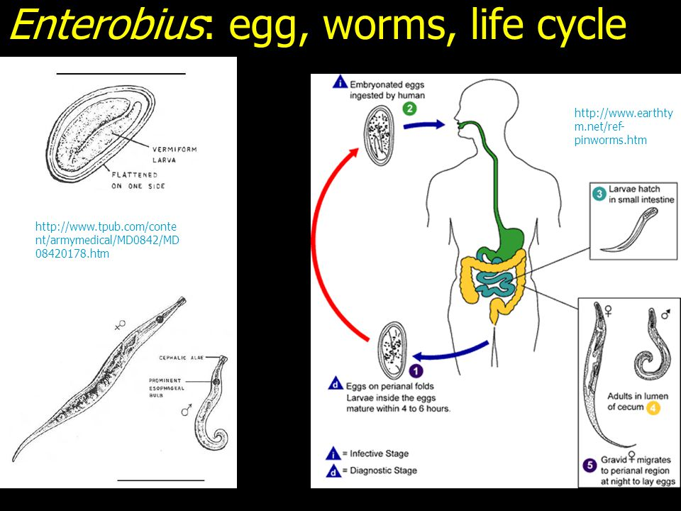 Enterobius: egg, worms, life cycle