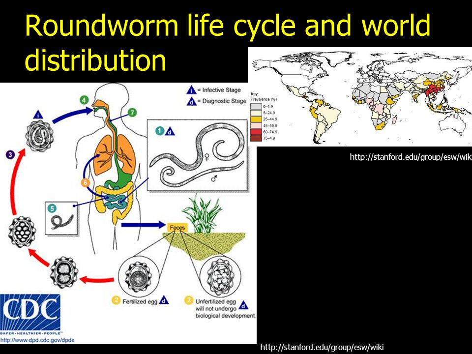 Roundworm life cycle and world distribution