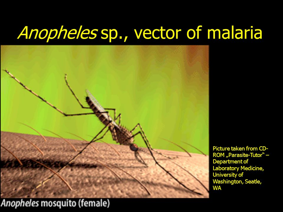 Anopheles sp., vector of malaria