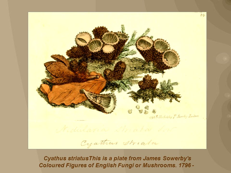 Cyathus striatusThis is a plate from James Sowerby s Coloured Figures of English Fungi or Mushrooms.