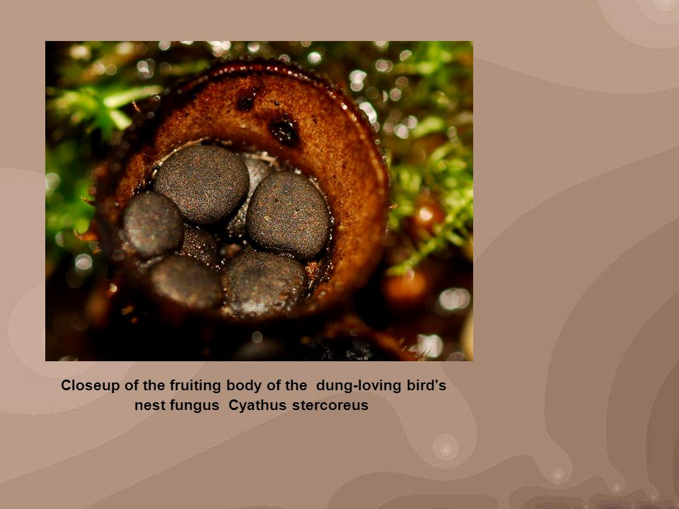 Closeup of the fruiting body of the dung-loving bird s nest fungus Cyathus stercoreus