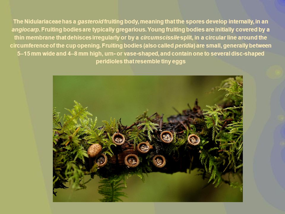 The Nidulariaceae has a gasteroid fruiting body, meaning that the spores develop internally, in an angiocarp.