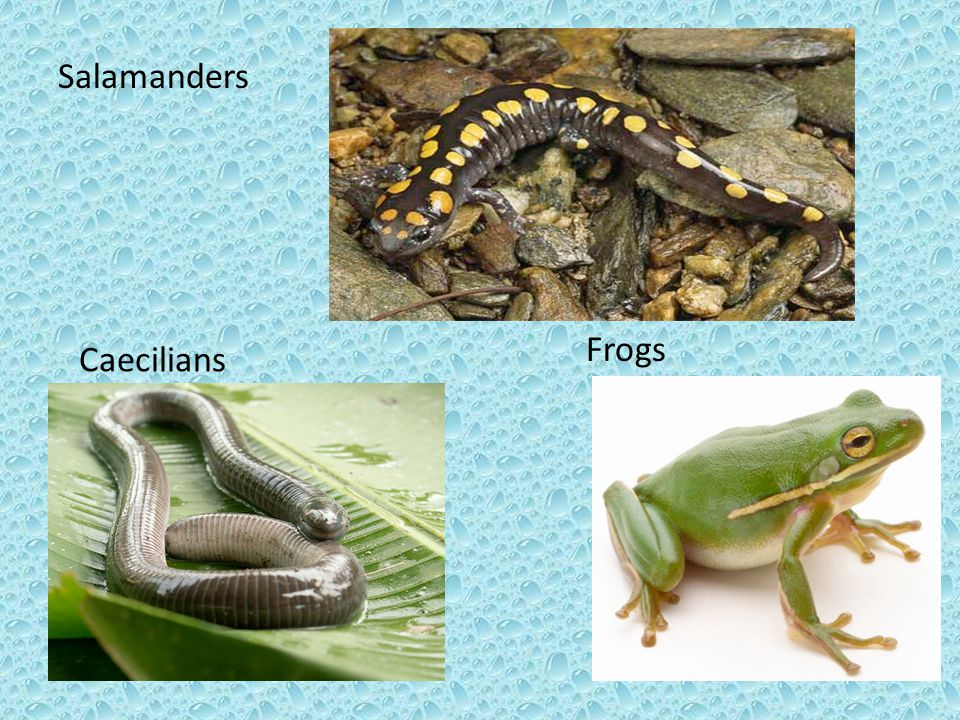 Salamanders Caecilians Frogs