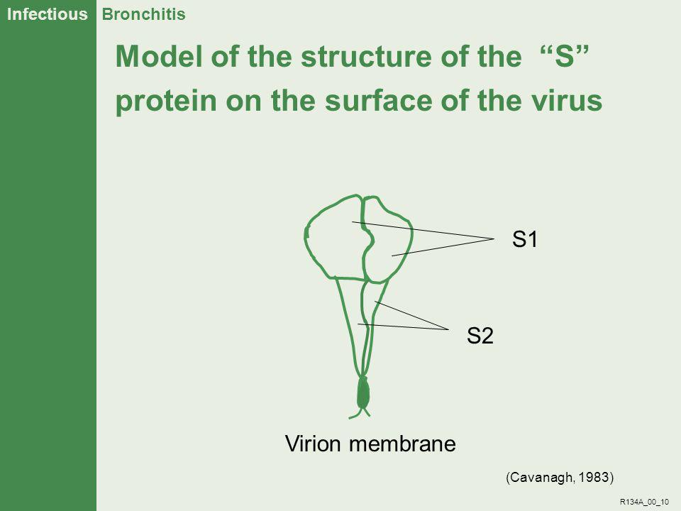 Model of the structure of the S protein on the surface of the virus
