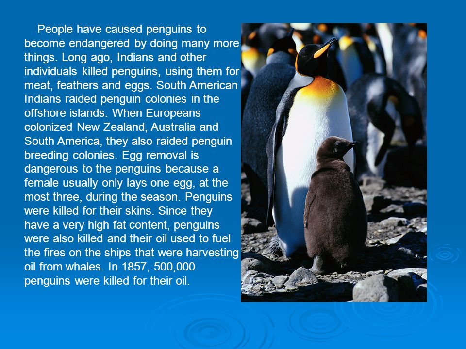 People have caused penguins to become endangered by doing many more things.