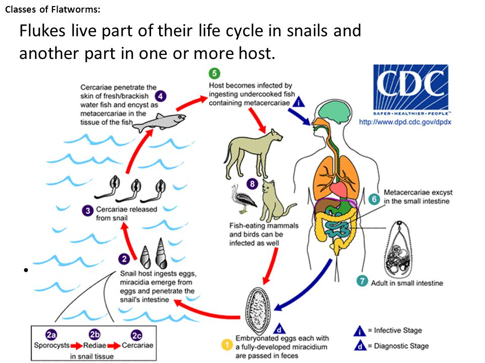 Classes of Flatworms: Flukes live part of their life cycle in snails and another part in one or more host.