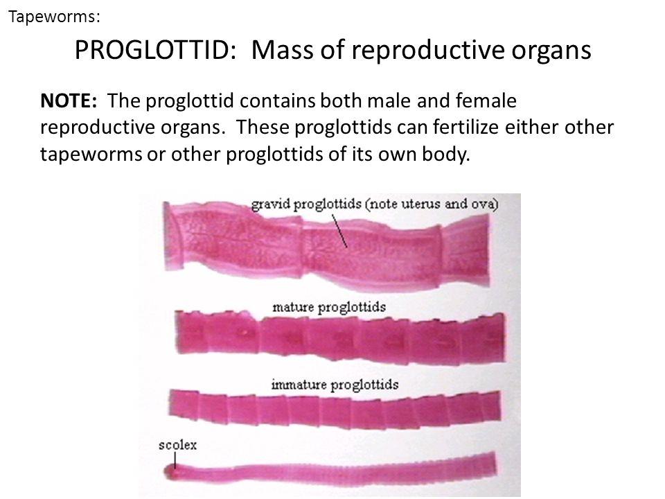 PROGLOTTID: Mass of reproductive organs