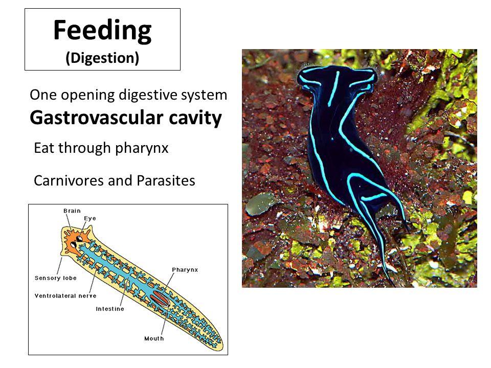 Feeding (Digestion) One opening digestive system Gastrovascular cavity