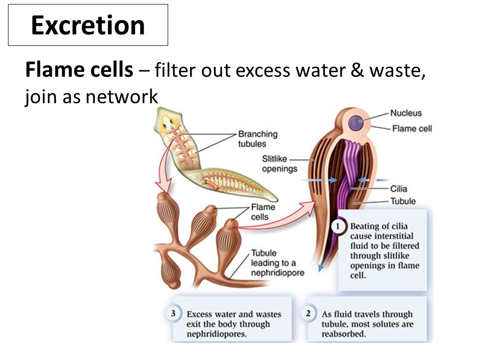 Excretion Flame cells – filter out excess water & waste, join as network.