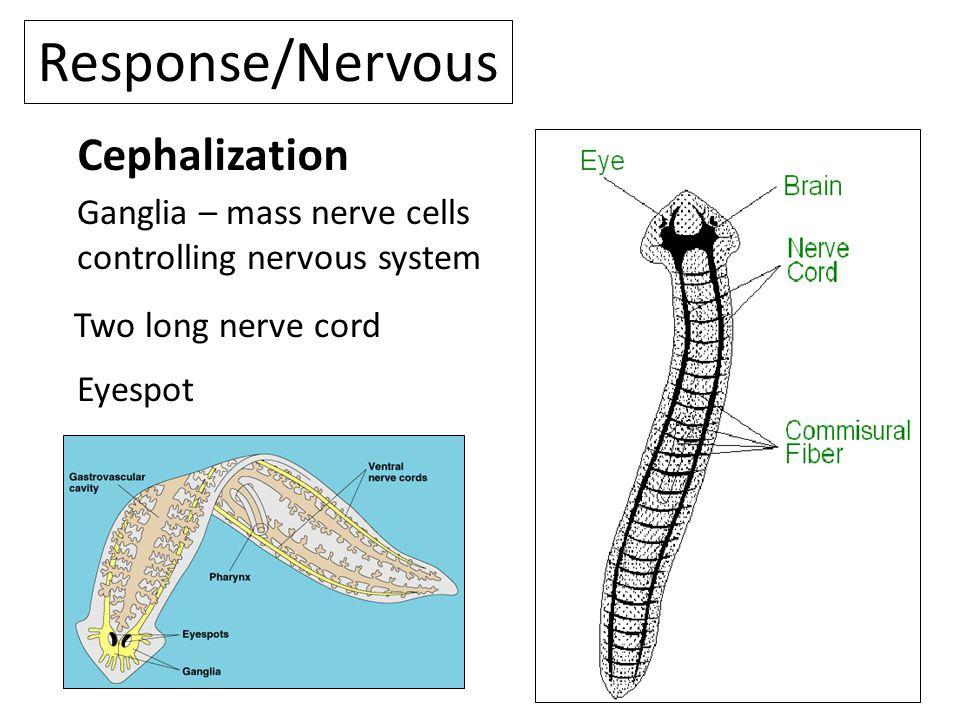 Response/Nervous Cephalization