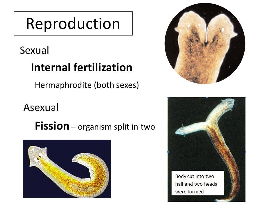 Reproduction Internal fertilization Fission – organism split in two