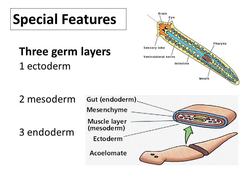 Special Features Three germ layers 1 ectoderm 2 mesoderm 3 endoderm